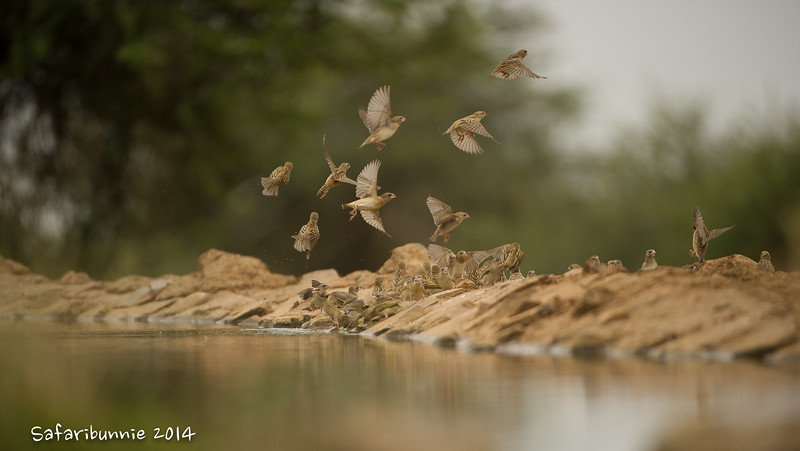 Red billed Quelea drinking - Madwike by Tracey Jennings