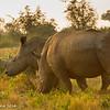 White rhino - Madwike by Tracey Jennings