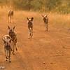 Wild Dog - Madwike by Tracey Jennings