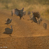 Guinea Fowl - Madwike by Tracey Jennings