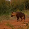 Brown hyena - Madwike by Tracey Jennings