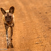 Wild Dog - Madwike by Tracey Jennings