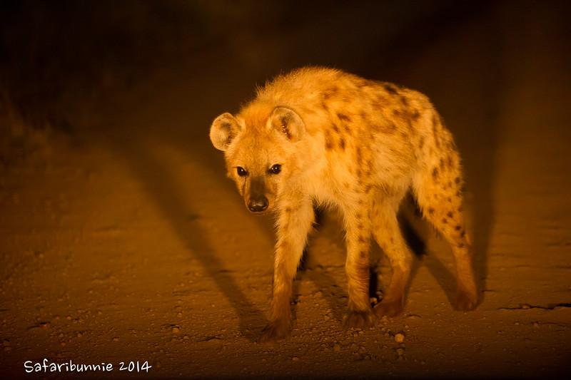 Spotted hyena - Madwike by Tracey Jennings