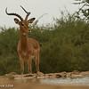 Impala - Madwike by Tracey Jennings