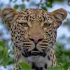 Leopard near Mopani
