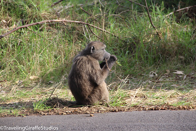 Baboon - Cape Point