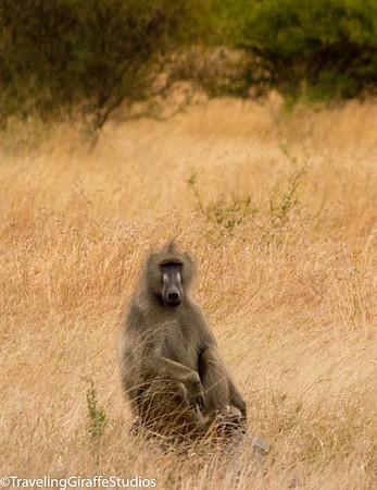 Baboon - Kruger National Park