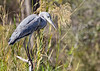Grey Heron<br /> Kruger National Park, South Africa