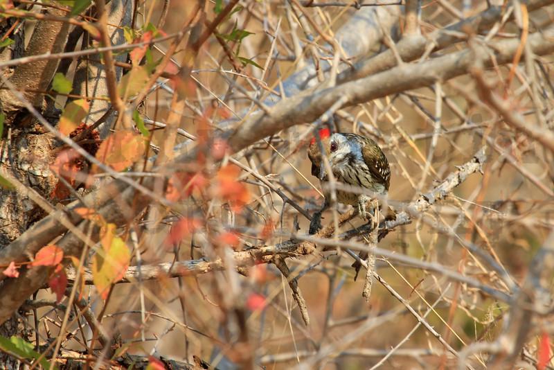 Cardinal Woodpecker<br /> Kruger National Park, South Africa