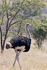 Southern Ostrich<br /> Kruger National Park, South Africa
