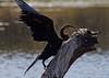 African Darter<br /> Kruger National Park, South Africa