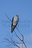 Black-shouldered Kite<br /> Kruger National Park, South Africa