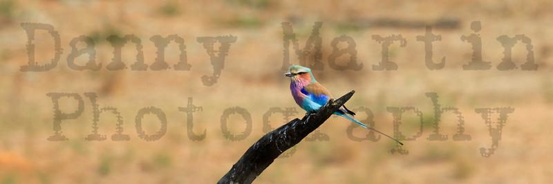 Lilac-breasted Roller<br /> Kruger National Park, South Africa