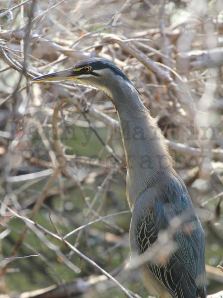 Striated (Green-backed) Heron (stalking prey)<br /> Kruger National Park, South Africa