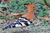 African Hoopoe<br /> Kruger National Park, South Africa