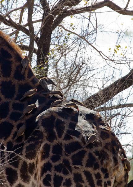 Red-billed Oxpecker (foraging on Giraffe)<br /> Kruger National Park, South Africa