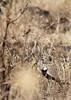 Red-crested Korhaan (Bustard), male calling<br /> Kruger National Park, South Africa