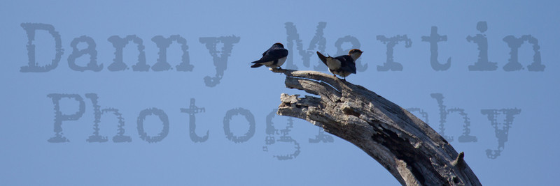 Wire-tailed Swallows, perched<br /> Kruger National Park, South Africa