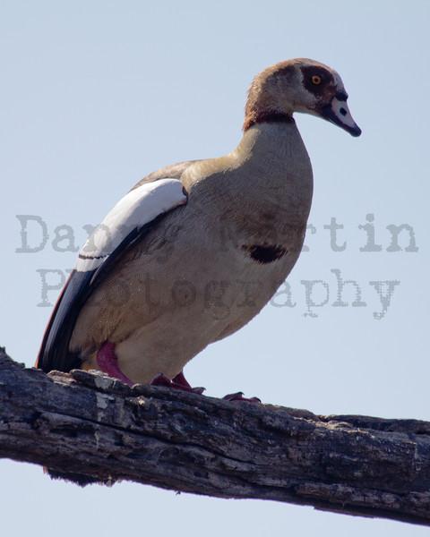 Egyptian Goose<br /> Kruger National Park, South Africa