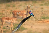 Lilac-breasted Roller<br /> Kruger National Park, South Africa