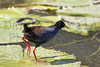 Black Crake<br /> Kruger National Park, South Africa