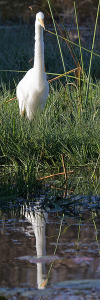 Great Egret (Great White Heron)<br /> Kruger National Park, South Africa