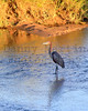 Goliath Heron<br /> Kruger National Park, South Africa