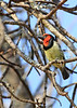 Black-collared Barbet<br /> Kruger National Park, South Africa
