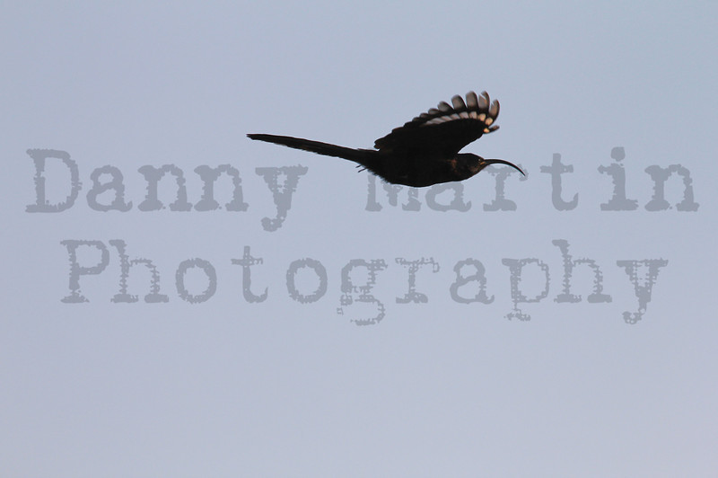 Common (Greater) Scimitarbill, in flight<br /> Kruger National Park, South Africa