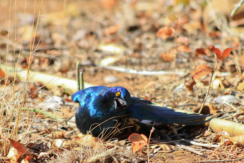 Cape Glossy Starling (male displaying)<br /> Kruger National Park, South Africa