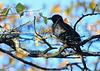 Red-winged Starling<br /> Kruger National Park, South Africa