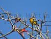 Spectacled Weaver<br /> Kruger National Park, South Africa