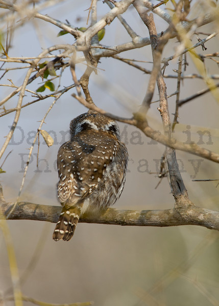 Pearl-spotted Owlet<br /> Kruger National Park, South Africa
