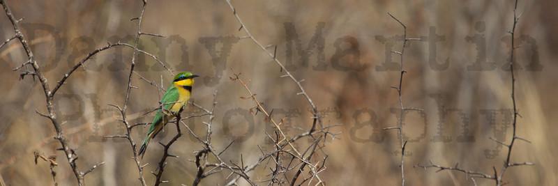 Little Bee-eater<br /> Kruger National Park, South Africa