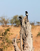 Magpie Shrike<br /> Kruger National Park, South Africa