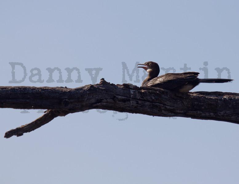 Reed Cormorant (juvenile)<br /> Kruger National Park, South Africa