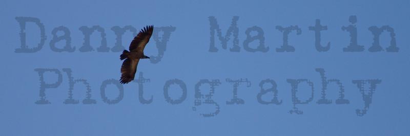 White-backed Vulture in flight (subadult)<br /> Kruger National Park, South Africa