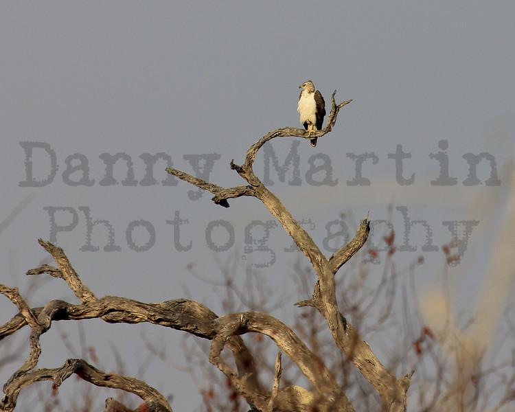Martial Eagle (juvenile)<br /> Kruger National Park, South Africa
