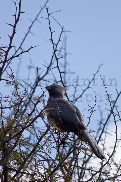 Grey Go-Away-Bird (Grey Lourie)<br /> Kruger National Park, South Africa