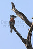 Giant Kingfisher<br /> Kruger National Park, South Africa