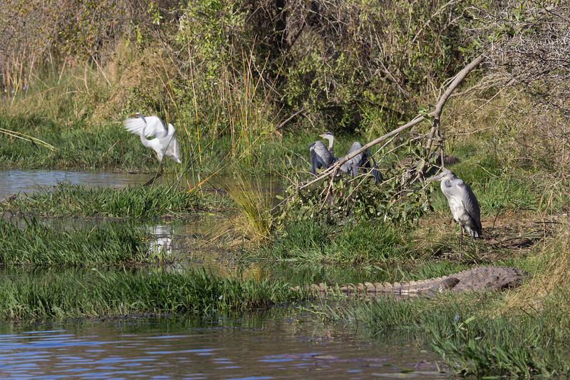 Grey Heron<br /> Kruger National Park, South Africa