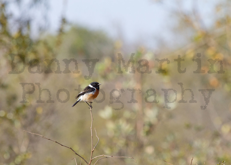 African (Common) Stonechat<br /> Kruger National Park, South Africa