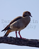 Egyptian Goose<br /> Kruger National Park, South Africa