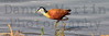 African Jacana<br /> Kruger National Park, South Africa
