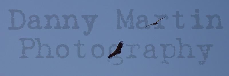 White-backed Vulture in flight<br /> Kruger National Park, South Africa