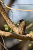 Common (Dark-capped) Bulbul<br /> Kruger National Park, South Africa