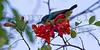 Collared Sunbird<br /> Kruger National Park, South Africa