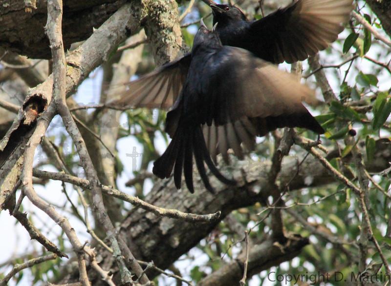 Fork-tailed Drongos in flight<br /> Kruger National Park, South Africa