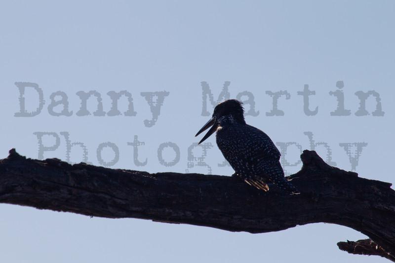 Giant Kingfisher<br /> Kruger National Park, South Africa