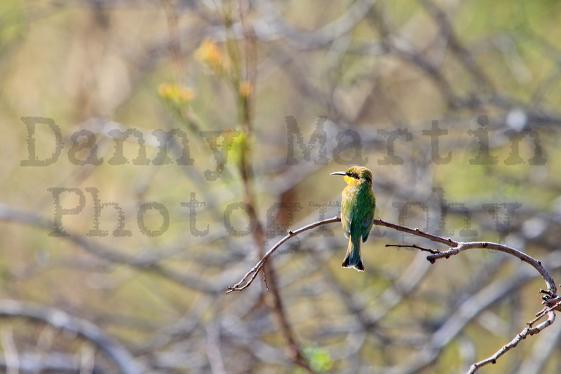 Little Bee-eater<br /> Kruger National Park, South Africa